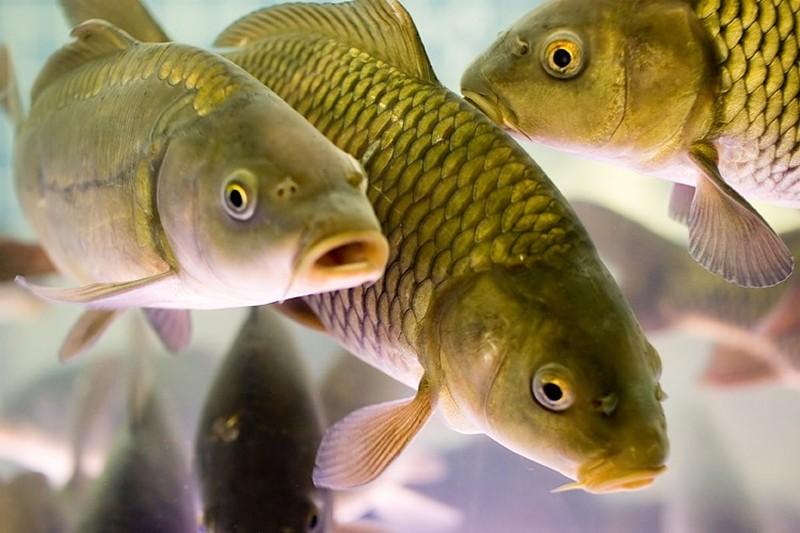 """В рыбном хозяйстве """"Брут"""" в этом году вырастили около 140 тонн рыбы"""